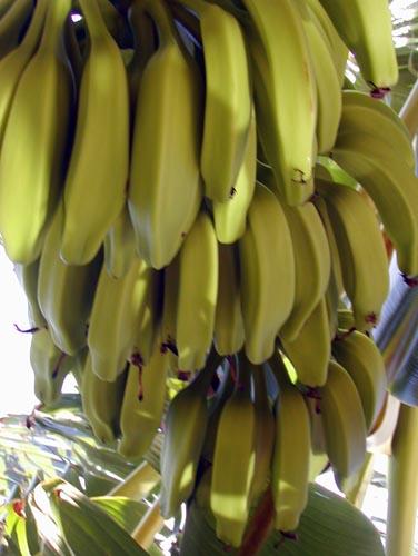 Banánová dieta - redukční dieta, která funguje!