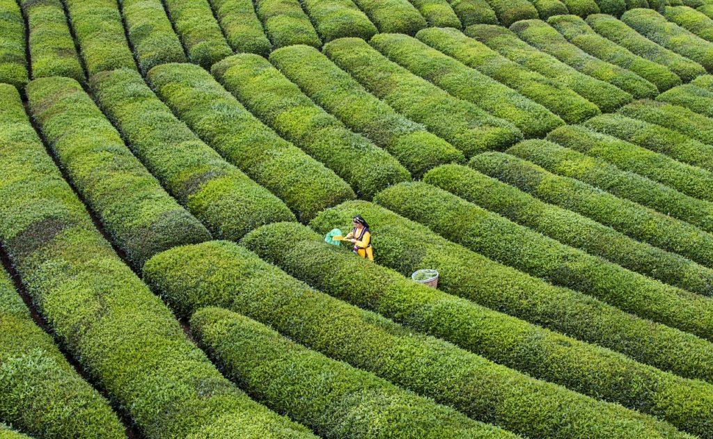 Turkey Tea Nature Green Summer