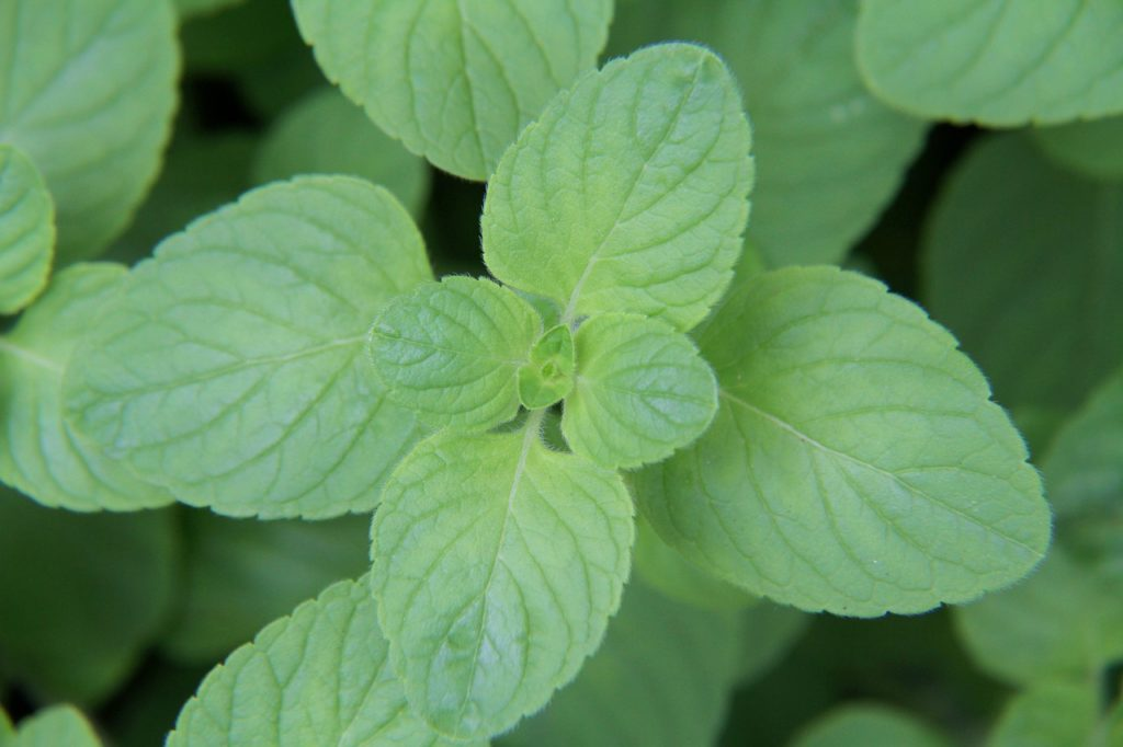 Mint Leaf Leaves Peppermint Drink - japanibackpacker / Pixabay